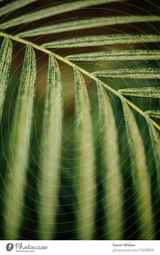 Palm Leaf 03 Natur Pflanze Tier Erde Baum Grünpflanze exotisch Urwald grün schwarz authentisch Idylle Farbfoto Innenaufnahme Nahaufnahme Detailaufnahme Tag