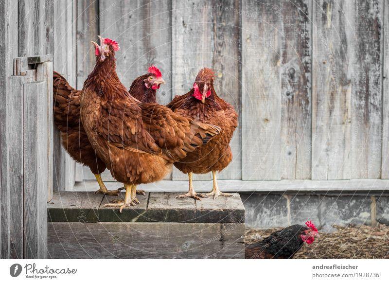 Hühner dürfen auch mal krähen. Gesunde Ernährung Tier Umwelt Leben Gesundheit Holz Garten Lebensmittel Menschengruppe Vogel Freizeit & Hobby elegant stehen