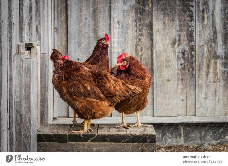 Posen können diese Hennen. Lebensmittel Fleisch Lifestyle Gesundheit Freizeit & Hobby Spielen Garten Ostern Tier Nutztier 3 Tiergruppe stehen Hühnervögel