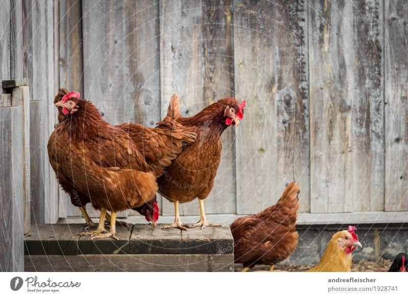 Hühner Squad Tier gelb Holz braun Vogel Zusammensein Freizeit & Hobby stehen Tiergruppe Neugier Landwirtschaft Bauernhof Bioprodukte Hinterteil eng