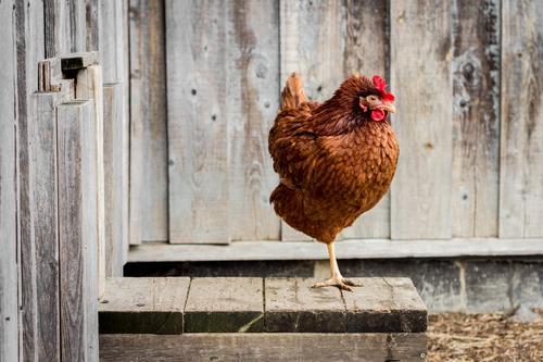 Glückliche Hühner können auch auf einem Bein stehen Erholung Haus Tier Holz Garten Lebensmittel Vogel elegant beobachten Ostern Landwirtschaft Bauernhof
