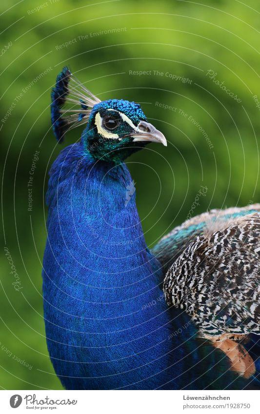 about beauty Tier Vogel Tiergesicht Pfau Feder Schnabel 1 Blick ästhetisch elegant exotisch glänzend Neugier schön blau braun mehrfarbig grün türkis weiß