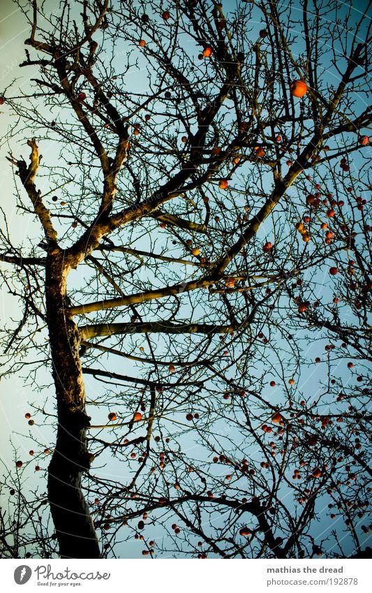 APFELBAUM Umwelt Natur Landschaft Himmel Wolkenloser Himmel Winter Schönes Wetter Schnee Pflanze Baum Nutzpflanze Apfelbaum schön durcheinander Frucht