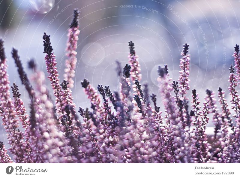 Pink Natur schön weiß Blume Pflanze ruhig rosa violett Unschärfe Umwelt Topfpflanze