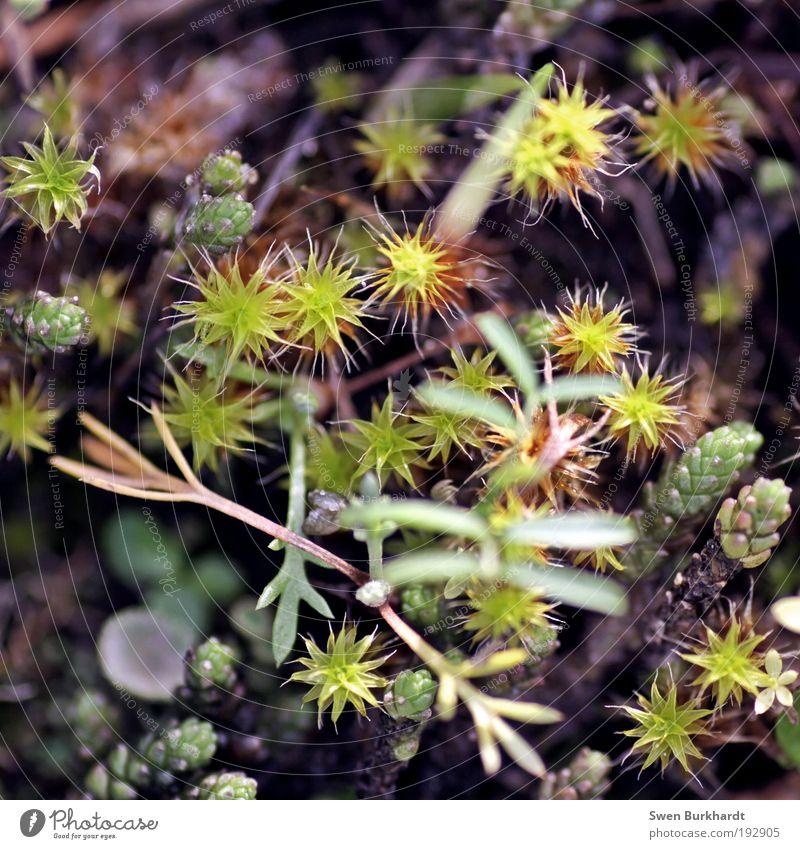 little stars Umwelt Natur Pflanze Frühling Sommer Herbst Moos Blatt Blüte Grünpflanze Wildpflanze Park Wiese braun gelb grün schwarz entdecken
