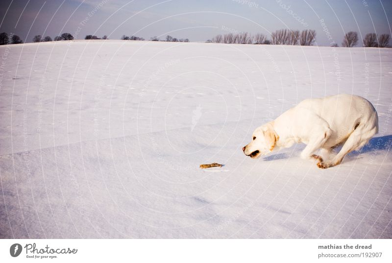 SPIELTRIEB Umwelt Natur Landschaft Wolkenloser Himmel Winter Schönes Wetter Eis Frost Schnee Baum Wiese Feld Tier Haustier Hund 1 Spielen springen sportlich