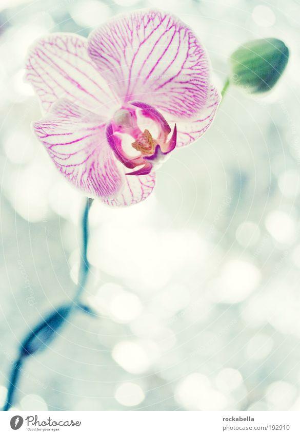 Orchidee elegant Wellness Leben harmonisch Wohlgefühl Zufriedenheit Sinnesorgane Erholung ruhig Duft Kur Spa Natur Pflanze ästhetisch kalt Kitsch Frieden rein