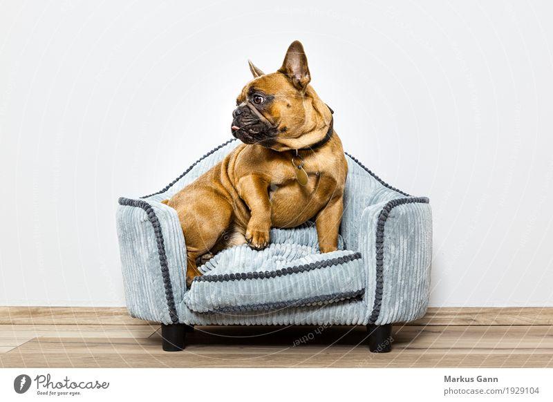Bulldogge auf kleinem Sofa Hund Erholung Tier Haustier