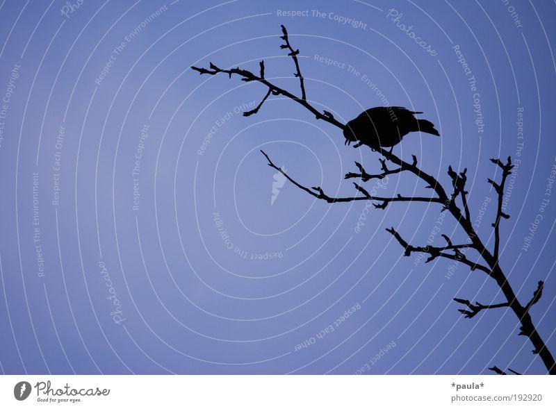 Ganz hoch oben! Natur Himmel Baum blau schwarz Einsamkeit Tier dunkel Herbst Freiheit träumen Luft Zufriedenheit Kraft Vogel