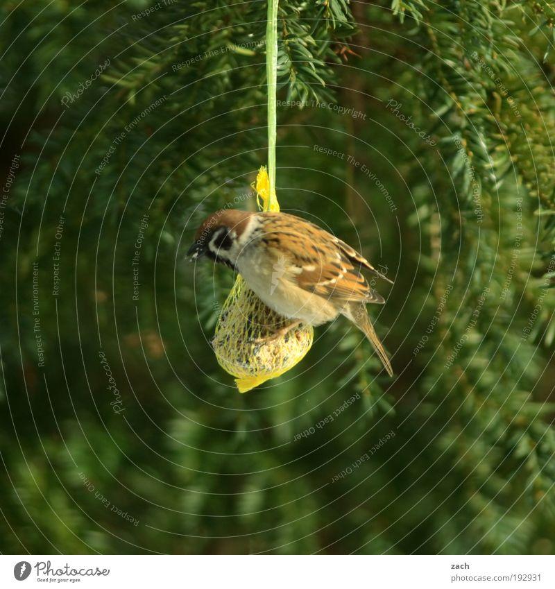 Wochenendeinkauf Natur Pflanze Tier Winter Baum Vogel Spatz Fressen füttern grün gefräßig Vogelfutter Nadelbaum Farbfoto Außenaufnahme Menschenleer