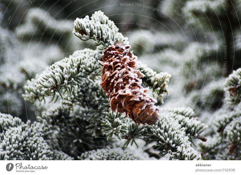 Zapfen Natur Baum Pflanze Winter kalt dunkel Schnee Umwelt Wetter Eis Klima Coolness Frost nah Tanne Schönes Wetter