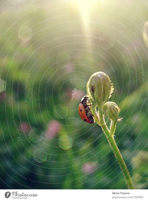 Alles Gute liegt vor dir Natur Sonnenaufgang Sonnenuntergang Sonnenlicht Frühling Sommer Schönes Wetter Blume Gras Wiese Käfer Marienkäfer 1 Tier Blühend
