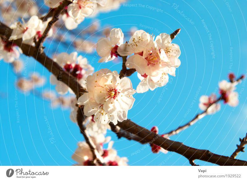 Weiße Aprikosenblüten Sommer Sonne Garten Umwelt Natur Landschaft Pflanze Himmel Wolkenloser Himmel Frühling Schönes Wetter Baum Blume Blatt Blüte Park frisch