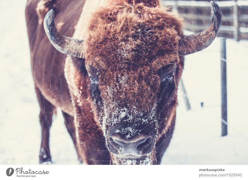 Wisent Bison Tier Bewegung Arbeit & Erwerbstätigkeit Kraft Wildtier beobachten bedrohlich Landwirtschaft entdecken Beruf Kuh Fleisch Arbeitsplatz Fressen Horn