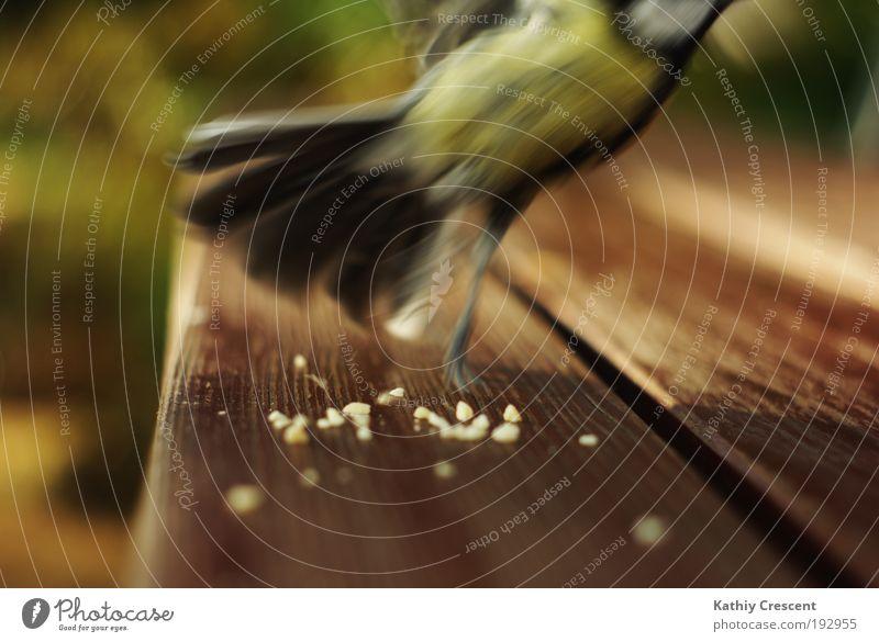 Ein beinahe perfektes Meisenportrait... Tier Wildtier Vogel Flügel 1 Bewegung fliegen füttern Jagd elegant frech frei Geschwindigkeit wild braun gelb grün