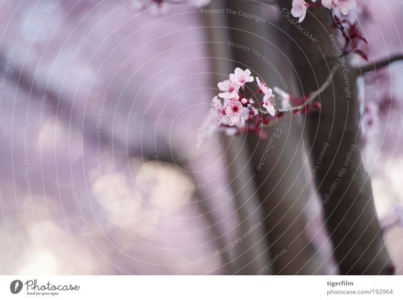 Frühlingsblüte Blüte Baum Ast rosa Unschärfe Hintergrundbild schön Natur Blume Frühlingstag abstrakt Lampe Fokus seicht Tiefe
