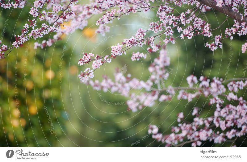 Blüte und Orange Baum Ast orange rosa Unschärfe Hintergrundbild schön Natur Blume Frühling Frühlingstag abstrakt Tiefe seicht Fokus Frucht
