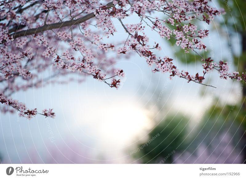 Frühlingstag Blüte Baum Ast rosa Unschärfe Hintergrundbild schön Natur Blume Tag Jahreszeiten Saison Tiefe seicht Fokus abstrakt Lampe