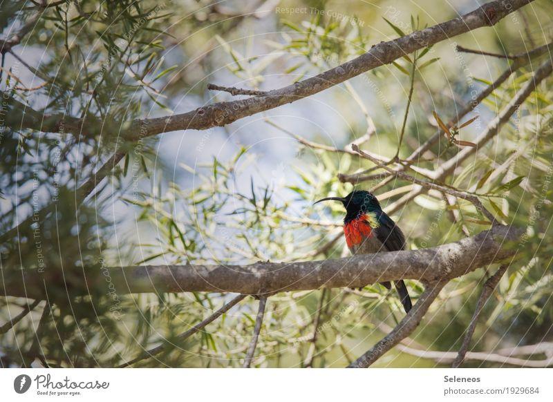 Grootrooibandsuikerbekkie Natur Ferien & Urlaub & Reisen Sommer Sonne Baum Tier Ferne Wald Umwelt klein Garten Freiheit Vogel Tourismus Park Ausflug