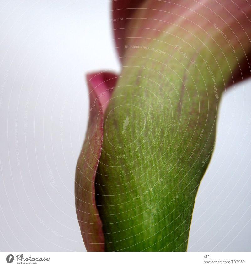 Calla Natur Pflanze Blume Blüte Park ästhetisch Duft elegant exotisch frisch nah modern natürlich dünn schön grün violett Design einzigartig Stolz Trauer