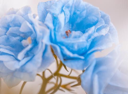 Gefüllte Sternglockenblume (Campanula Isophylla) Natur Pflanze blau schön Blume Wärme Blüte Innenarchitektur Frühling Kunst außergewöhnlich