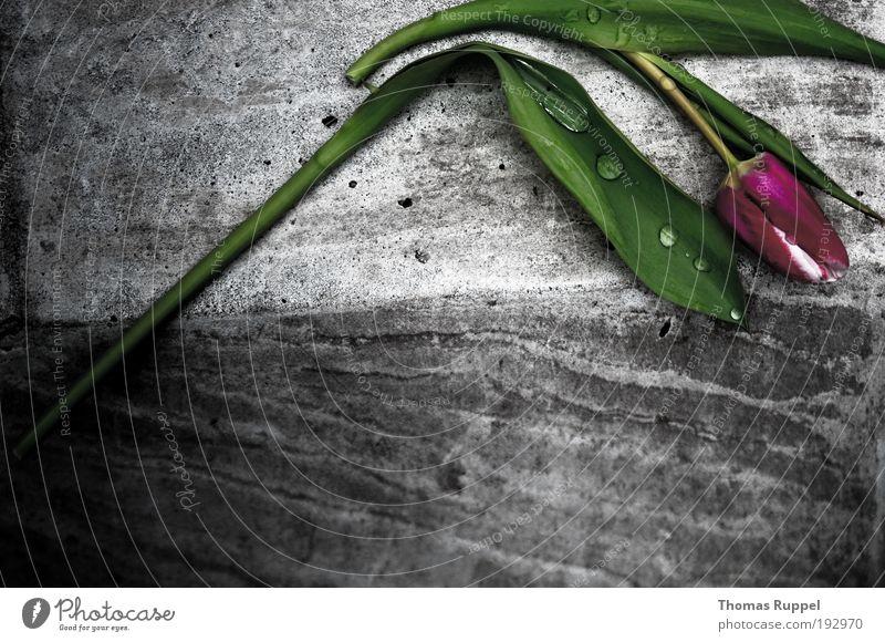 traurige Tulpe Pflanze Blume Grünpflanze Mauer Ecke Stein Beton liegen Traurigkeit eckig einfach nass grau grün violett rosa Gefühle Stimmung Sorge Trauer