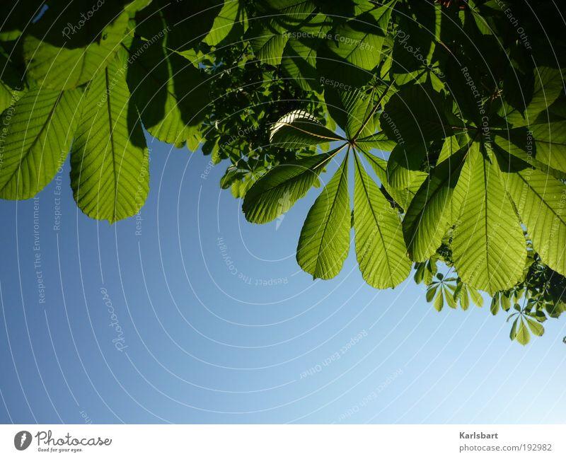 blättern. schön Leben harmonisch Sommer Umwelt Natur Pflanze Himmel Sonnenlicht Frühling Schönes Wetter Baum Blatt grün Wachstum Kastanienbaum Farbfoto