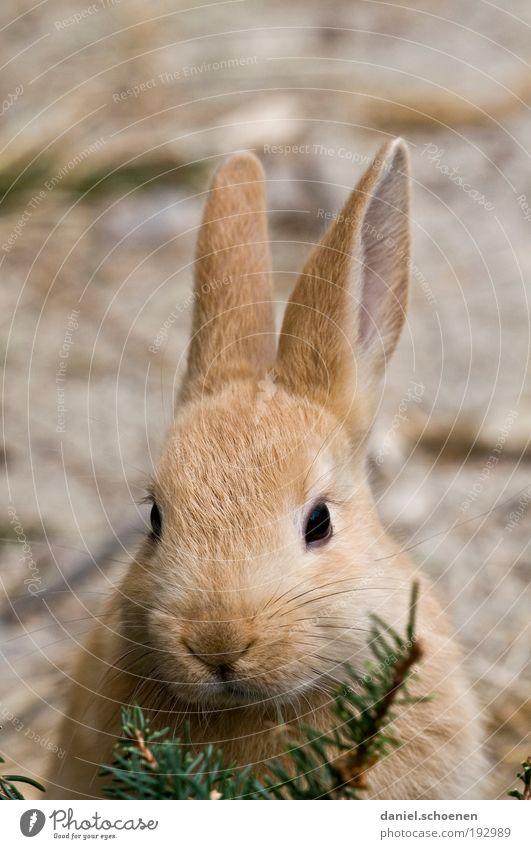 Osterhasi Tier Haustier Tiergesicht 1 Tierjunges kuschlig weich Ostern Osterhase Ohr Tierporträt Blick in die Kamera Hase & Kaninchen