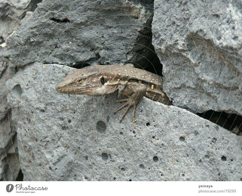 Echse Stein Mauer Drache Reptil Echsen Echte Eidechsen Teneriffa Steinmauer