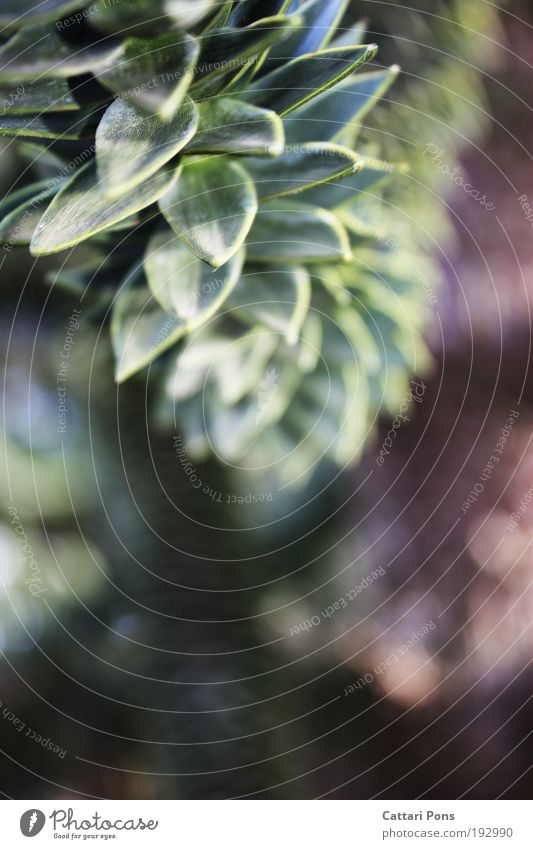 Araucaria Natur grün Pflanze ruhig Wachstum exotisch stachelig Wildpflanze Konifere