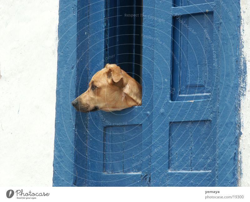 Wachhund blau Wand Hund Tür Eingang Kanaren bewachen Teneriffa Mischling Haushund