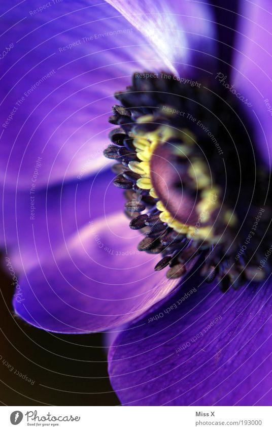 A Nemone Natur Frühling Sommer Pflanze Blume Blatt Blüte Park Wiese blau violett Anemonen Pollen Farbfoto mehrfarbig Außenaufnahme Nahaufnahme Makroaufnahme