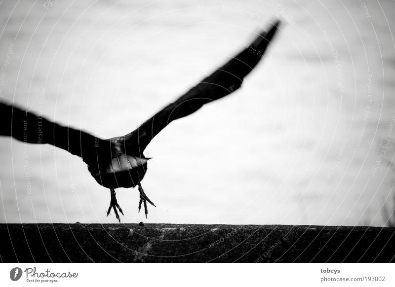 Abflug Tier Vogel Schwarzweißfoto fliegen Luftverkehr Feder Flügel Flucht Schweben Krallen wegfahren Rabenvögel Krähe