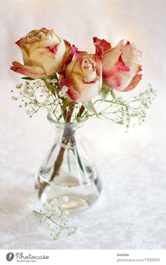 Drei Rosen in Glasvase auf weißer Tischdecke Blumenstrauß Blüte Blumenwasser Schleierkraut Duft hell grün rosa rot Freude 3 Vase Samt Studioaufnahme