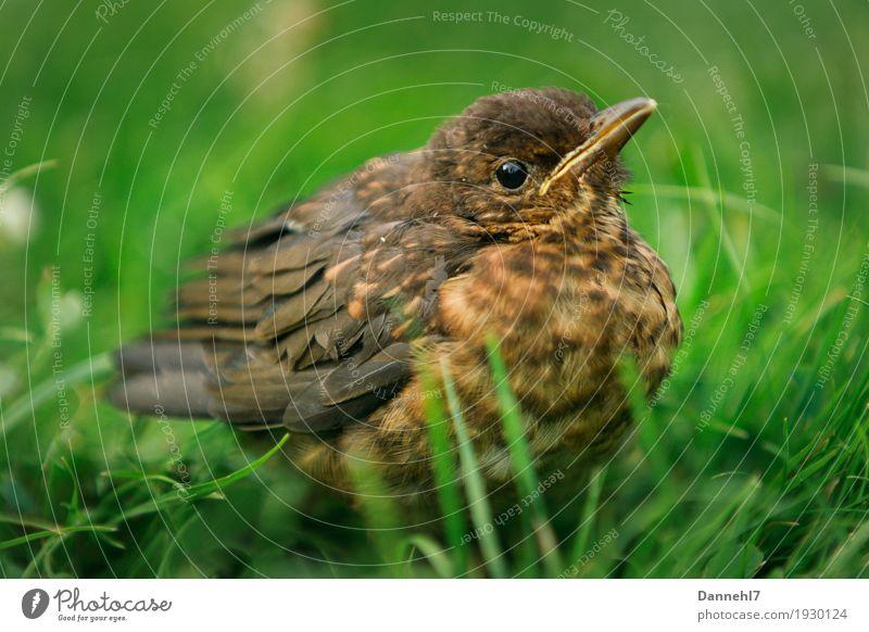 Dicker Vogel Natur Landschaft Frühling Gras Grünpflanze Tier Wildtier Flügel 1 frieren hocken dick Neugier niedlich braun grün Coolness Geborgenheit Tierliebe