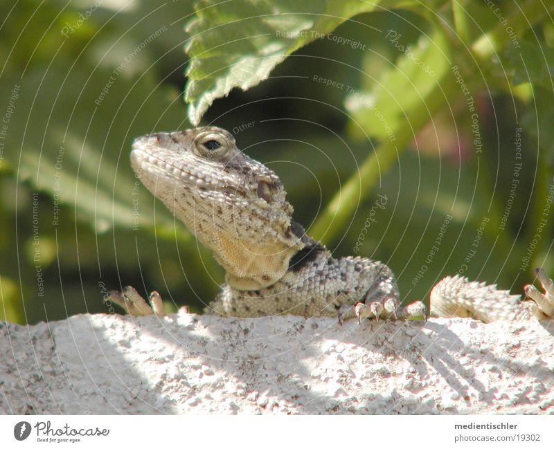 Gozilla Tier Reptil Echsen Echte Eidechsen