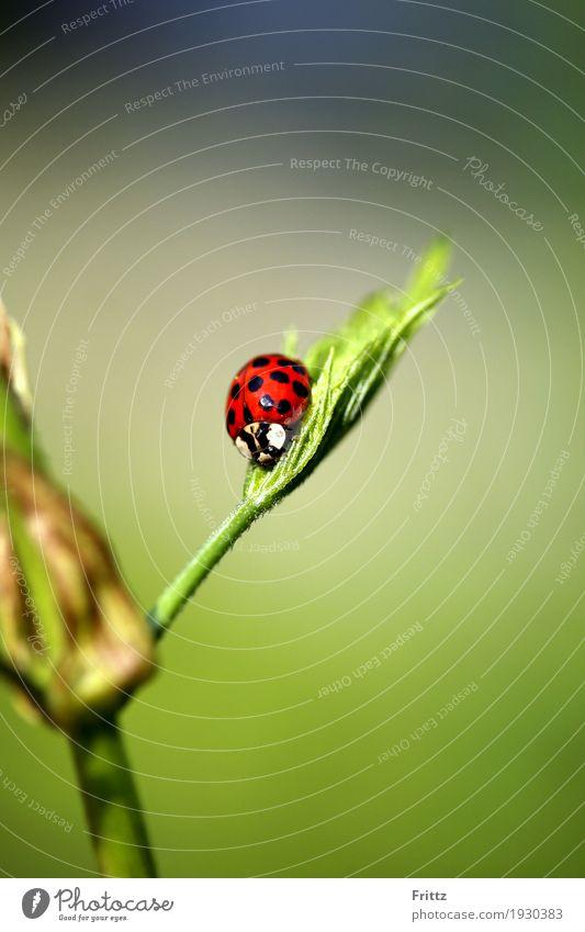 Marienkäfer sitz Tier Wildtier Käfer 1 sitzen authentisch schön grün rot schwarz Tierliebe friedlich achtsam Natur roter Käfer mit schwarzen Punkte ausruhen