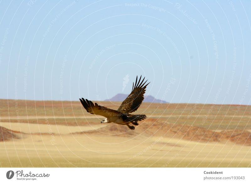 Auf der Jagd elegant Ferne Freiheit Natur Landschaft Wolkenloser Himmel Wüste Tier Vogel Flügel 1 fliegen frei Wachsamkeit jagdinstikt Farbfoto Außenaufnahme