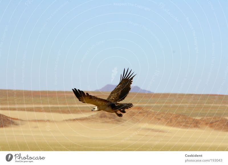 Auf der Jagd Natur Tier Ferne Freiheit Landschaft Vogel elegant fliegen frei Wüste Flügel Wachsamkeit Licht Wolkenloser Himmel