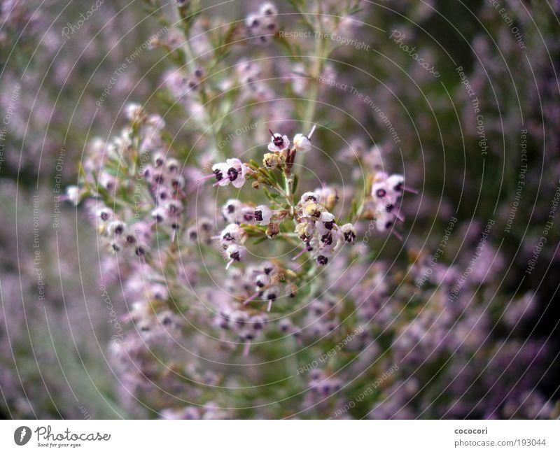 Blütenrausch Natur grün Pflanze Sommer rosa frisch Sträucher violett natürlich positiv Südafrika Unschärfe Bergheide