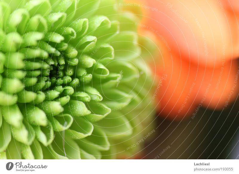 Santini Natur Pflanze Blume Blüte Chrysantheme Korbblütengewächs Blumenstrauß Freundlichkeit schön nah grün Frühlingsgefühle Farbe Idylle Perspektive Farbfoto