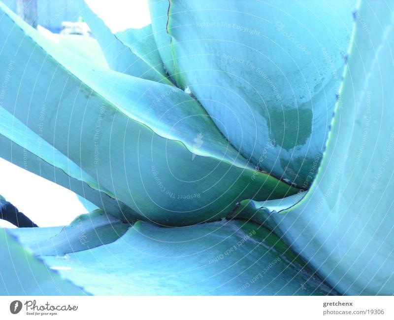 kakteen-blau Natur Kaktus