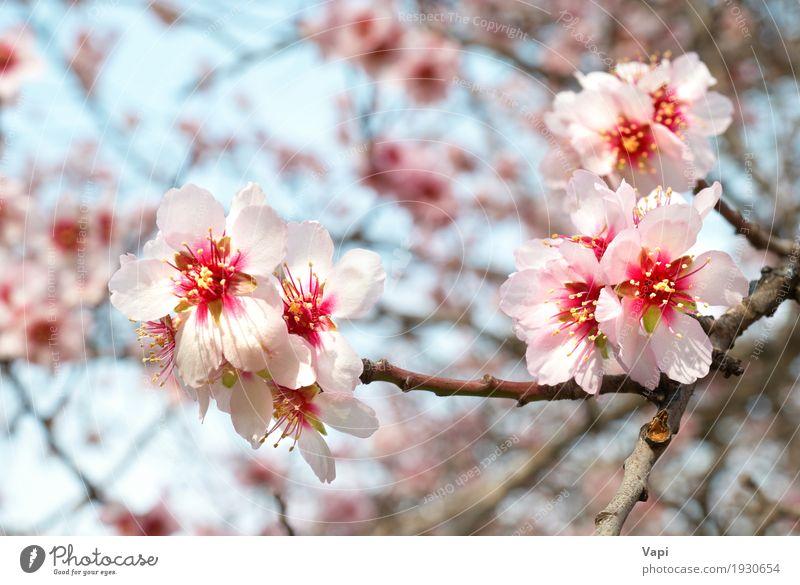 Die rosa Blumen des Mandelbaums Garten Umwelt Natur Pflanze Himmel Frühling Baum Blatt Blüte Grünpflanze Park frisch hell natürlich neu weich blau gelb orange