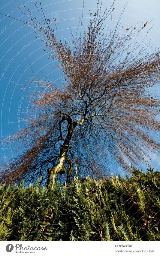 Birke Baum Baumstamm Ast Zweig Natur Hecke Park Garten Nachbar Grundstück Froschperspektive steil Himmel blau Blauer Himmel himmelblau Explosion Dynamik