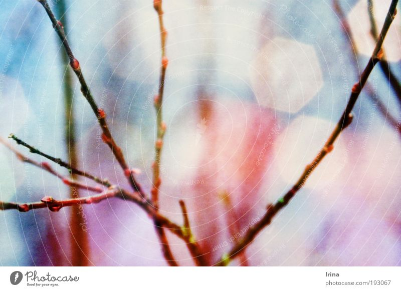 Salix - schmerz- & fiebersenkend Natur blau Baum Pflanze Park rosa natürlich neu Sträucher violett analog Weide Blattknospe Nationalpark Müritz