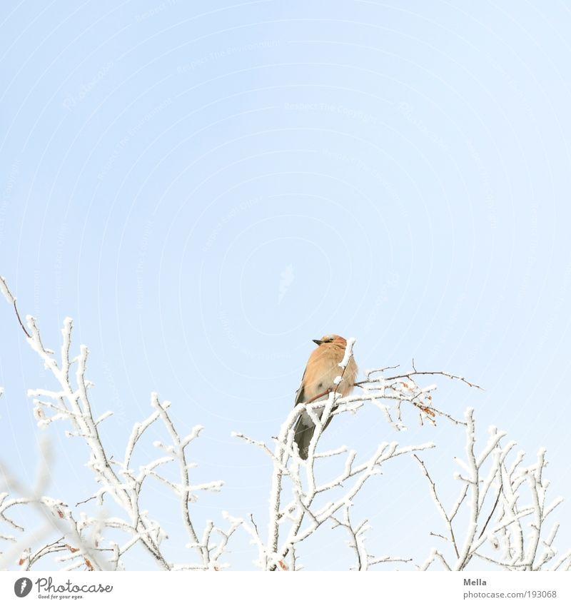 Ausguck Umwelt Natur Pflanze Tier Winter Klima Klimawandel Eis Frost Schnee Baum Ast Wildtier Vogel Eichelhäher 1 hocken Blick sitzen frei hell kalt natürlich