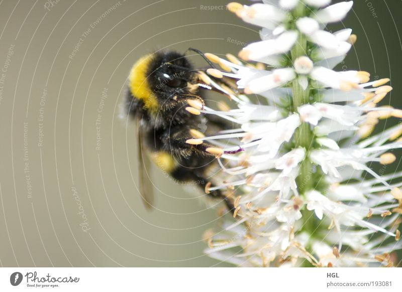 Hummel auf einer Blume Natur Blume Tier Umwelt Hummel