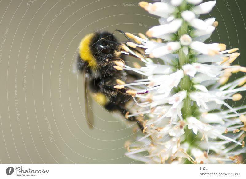 Hummel auf einer Blume Natur Tier Umwelt