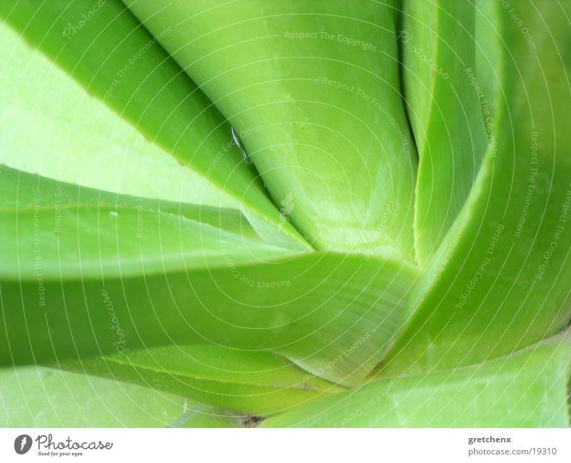 sukkulente-2 Natur grün