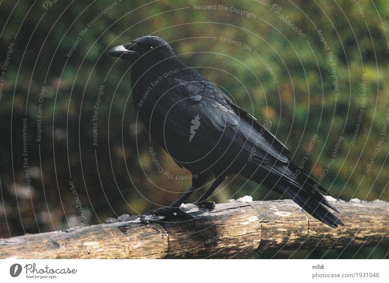 Zoobesucher Umwelt Natur Sträucher Park Tier Wildtier Vogel Rabenvögel Krähe 1 schwarz Feder Farbfoto Außenaufnahme Textfreiraum links Textfreiraum rechts Tag